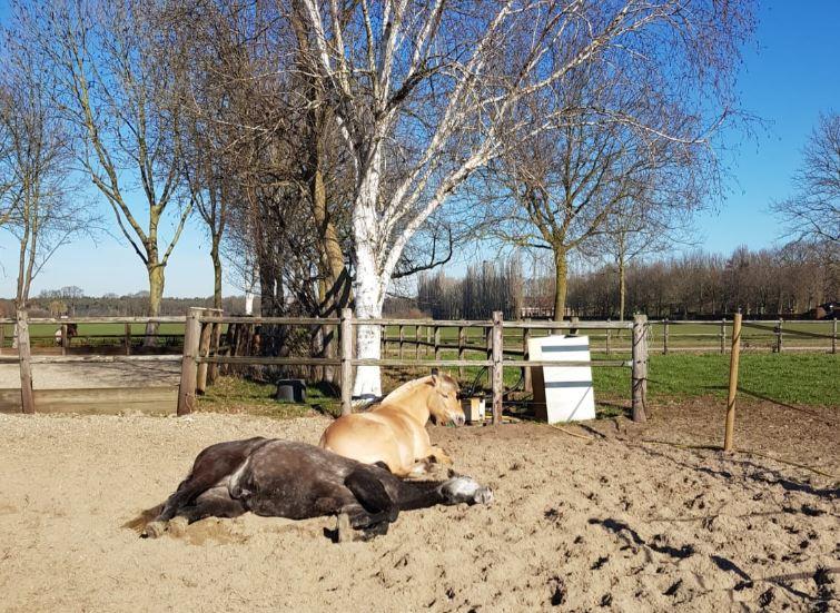Equine Awareness Centre Merel Burggraaf paard paarden paardengedrag gedragsdeskundige slaap rem pair-bond.JPG